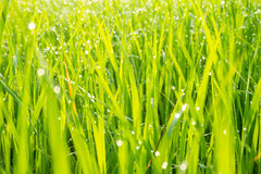 Grass with dew caught. Stock Photo