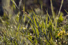 Grass with dew at dawn Stock Photography