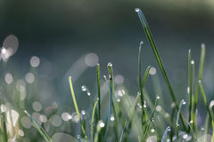 Grass with dew drop Royalty Free Stock Images