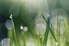 Grass with dew drop Stock Photography