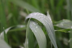 Grass with dew drop Royalty Free Stock Image