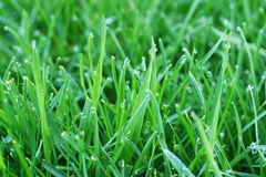 Grass and Dew Droplets. Dew droplets on green grass Royalty Free Stock Photos