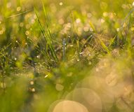 Grass with dew droplets. Close up of wet grass in summer morning. nature background Royalty Free Stock Photo