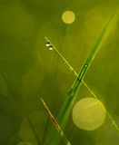 Grass with dew droplets. Close up of wet grass in summer morning. nature background Stock Photo
