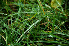 Grass. With dew droplets, summer morning Royalty Free Stock Photos