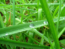 Grass with dew drops Stock Images