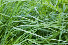 Grass with dew drops Stock Image
