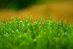 Grass with Dew Drops Royalty Free Stock Image