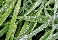 Grass with dew-drops Royalty Free Stock Image