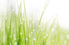 Grass with dew drops Stock Photography