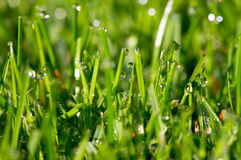 Grass and dew drops Royalty Free Stock Photo