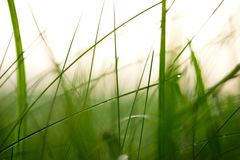Grass with dew drops Royalty Free Stock Photography