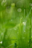 Grass with dew drops Stock Photo