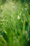 Grass with dew drops Royalty Free Stock Photo