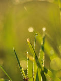 Grass with dew drops Royalty Free Stock Images