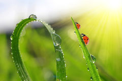 Grass with dew drops and ladybirds Royalty Free Stock Photos