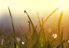 Grass with dew drops at sunrise. Royalty Free Stock Images