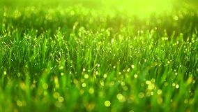 Grass with dew drops swaying in the wind stock video