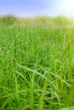 Grass with dew in the field Royalty Free Stock Image