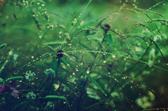 Grass with dew Royalty Free Stock Photos