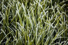 The grass in the dew. Green grass in the morning dew Royalty Free Stock Images