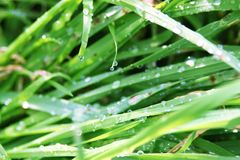 Grass in dew. Stock Photography