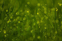Grass with dew in the morning. A closeup image of grass with dew and some small spider webs Stock Photos