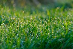 Grass with dew pattern. Morning Stock Images