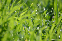 Grass with dew. Sparkling dew on a grass in the morning royalty free stock photo