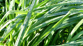 Grass with dew. And sun rays Stock Images