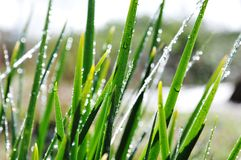 Grass with dew. A sunny foggy morning on field grass knot dew glistening, very beautiful royalty free stock photography