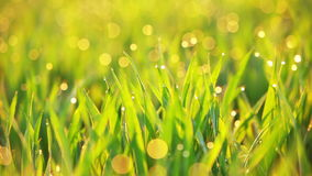 Grass and Dew are Trembling on the Wind stock video footage