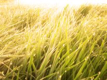 Grass with Dew Warm Sunrise Royalty Free Stock Photo