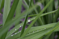 Grass dewdrops. Droplets of dew on the long, green blades of grass Royalty Free Stock Photo
