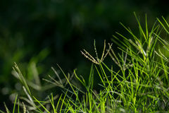 Grass and Dews Stock Photography