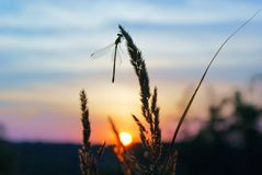 Grass with dragonfly against sky and sun at sunset stock photos