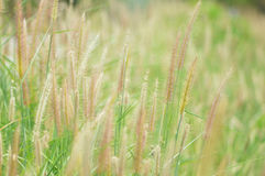 Grass. Dried grass in forest background green Royalty Free Stock Image