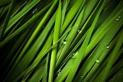 Grass with droplets Royalty Free Stock Image