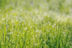 Grass in droplets of dew in the morning sun light Royalty Free Stock Image