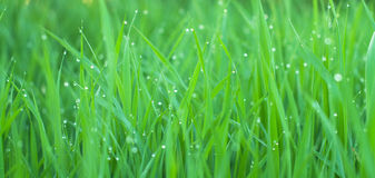 Grass with drops Royalty Free Stock Photos