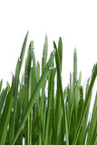 Grass with drops Royalty Free Stock Images