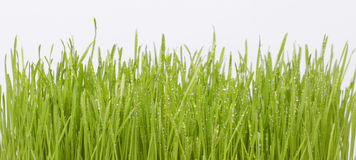 Grass with drops Royalty Free Stock Image