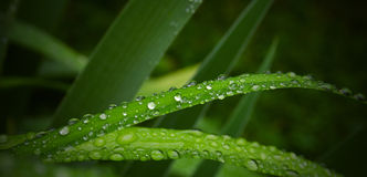 Grass drops Royalty Free Stock Photos