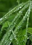 Grass with drops. Drops on grass after rainning Royalty Free Stock Images