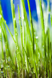 Grass and drops Royalty Free Stock Photos