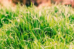 Grass with drops of dew Royalty Free Stock Photography