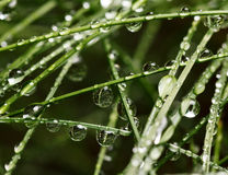 Grass and drops Royalty Free Stock Image
