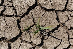 Grass on dry cracked soil Stock Photography