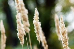 Grass dry Royalty Free Stock Photo