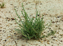 Grass on dry dirt close up Stock Image